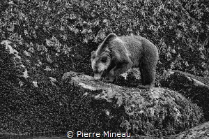 Grizzly having a lunch of mussels in the shell in tidal z... by Pierre Mineau